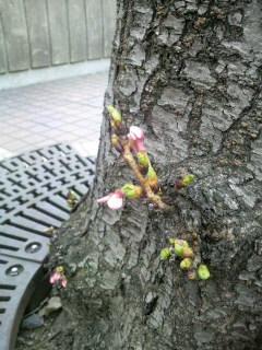 ミニ桜ちゃん