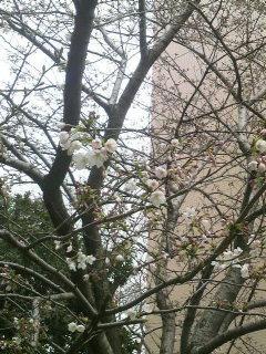 一緒に桜を・・・