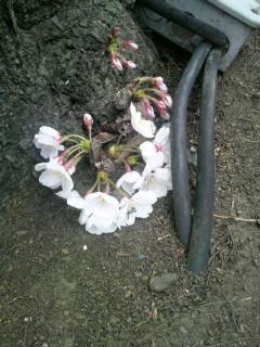 桜が地面から?